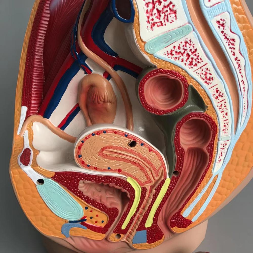 Lifesize mediana sagital sección humana pelvis femenina estructura modelo