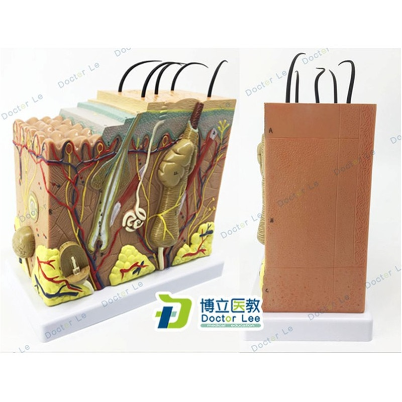 Skin Model 50X Enlarged Anatomical Model Anatomy for Science Classroom Study Display Teaching Medical Model