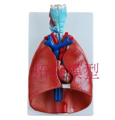 Modelo anatómico de garganta y corazón, sistema respiratorio, enseñanza médica, modelo 36x23x12CM,...