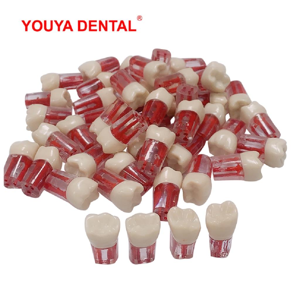 1 шт., зубная модель для обучения стоматологии