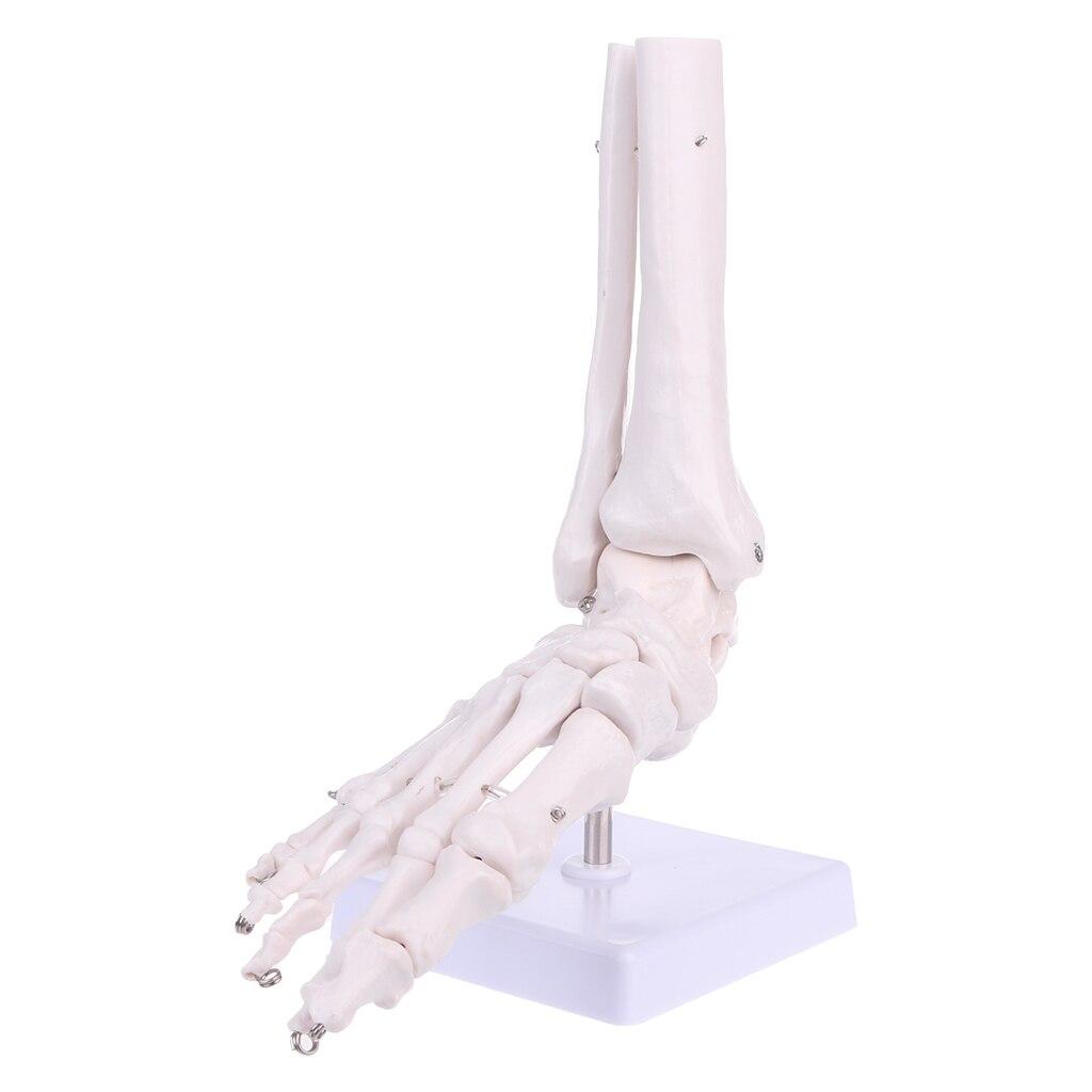 Herramienta de estudio de visualización médica modelo esqueleto anatómico articulación del tobillo del pie tamaño de vida nave colgante