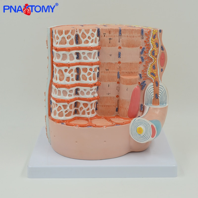 Enlarged human Skeletal Muscle Fiber model medical teaching tool anatomical model skeleton anatomy with base and manual PNATOMY new products plastic female pelvis anatomy skeleton model with muscle and color area for medical teaching and learning