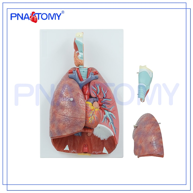 Life Size Human Respiratory System Model 7 Parts Lungs Heart Throat Anatomical Model Medical Teaching Tool Educational Equipment