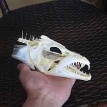 """물고기 황새치 두개골 표본 Largehead hairtail 해골 표본 수집 가르치는 7 """"에서"""
