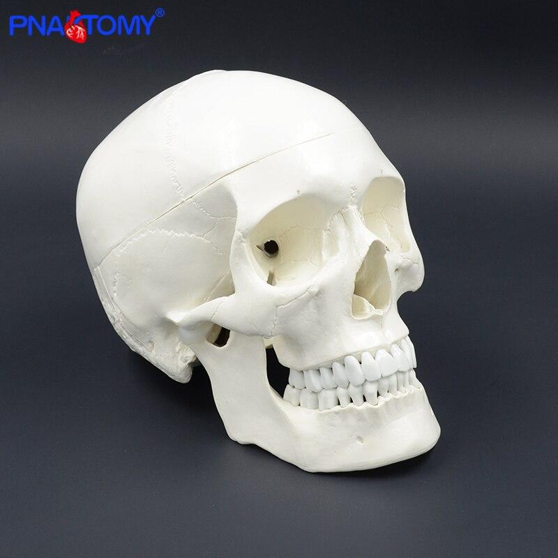 Life size human anatomy skull model head skeleton teaching model medical tool arts detachable anatomical model plastic PNATOMY human shoulder model life size medical teaching tool skeleton anatomy