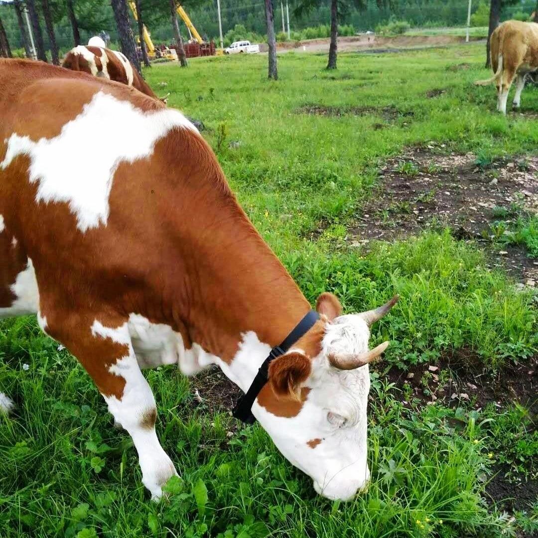 Collar rastreador GPS con panel Solar, impermeable, para ovejas, vaca, ganado, caballos,...