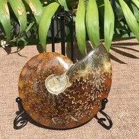 1pc natural 2 6cm 4cm iridescent ammonite ammolite gem specimen facet collectibles madagascar stone fossil significative c5p7
