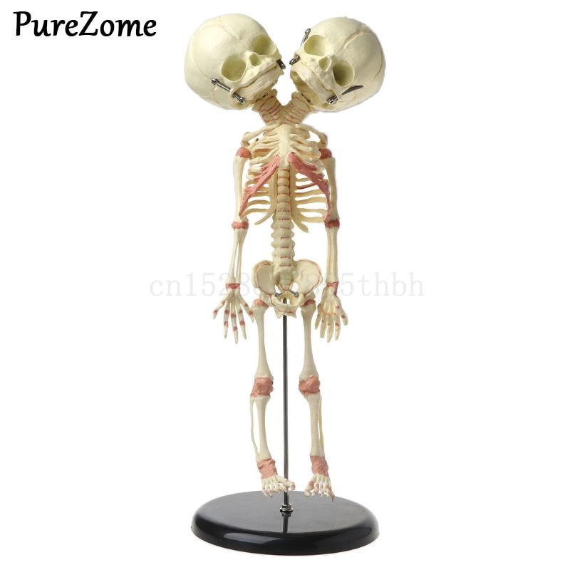 37cm Human Double Head Baby Skull Skeleton Anatomy Brain Display Study Teaching Anatomical Model human 1 1 right hemisphere functional area anatomy human brain model medicine teaching mdn006