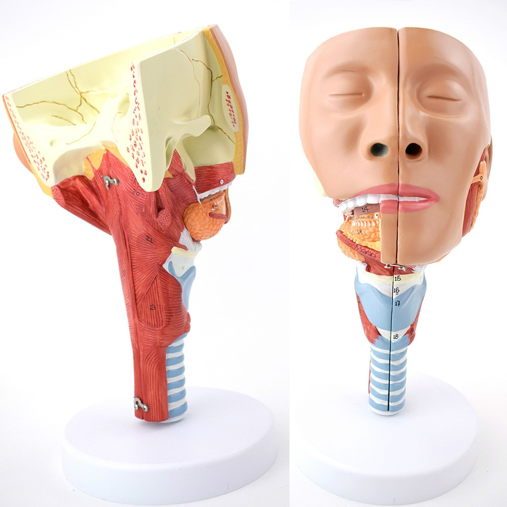 Nasofaringe tracheopharyngeal laringe modelo Anatômico muscular causada por músculos cyclopharyngeal aids reabilitação de disfagia
