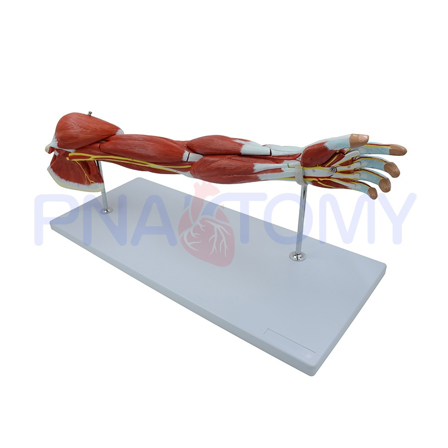 Anatomy of The Human Arm Muscles 7 Parts Muscular System Hand Nerves and Blood Vessel Anatomical Model Science Decor PNT-0331