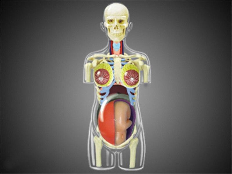 Rompecabezas maestro juguete de ensamblaje Cuerpo Humano órgano modelo médico anatómico enseñanza modelo embarazo 4d