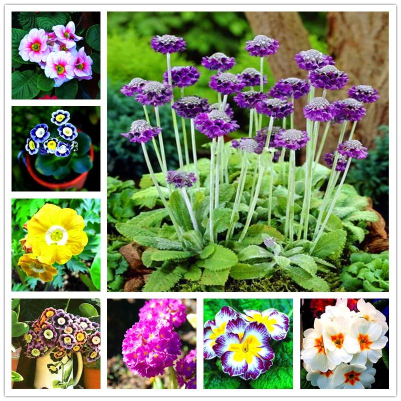 armario-de-bano-de-plantas-naturales-muebles-para-el-hogar-jardin-flores-semillas-bonsai-perenne-primula-malacoides-pts-09-100-uds