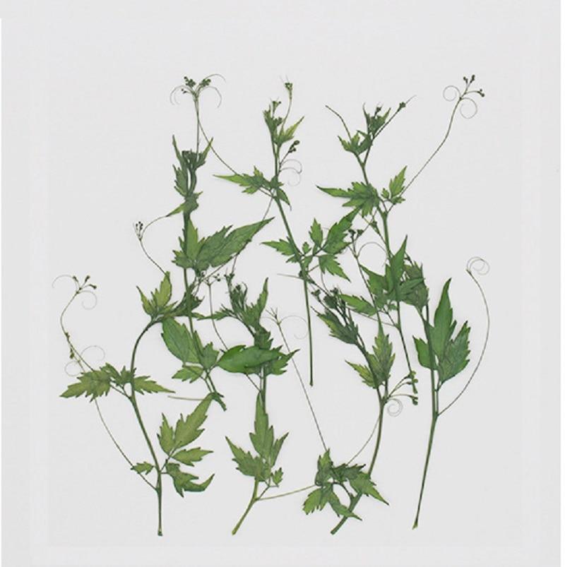 250pcs Pressed Dried Cardiospermum halicacabum L Flower Herbarium For Epoxy Resin Jewelry Making Bookmark Makeup Nail Art Craft