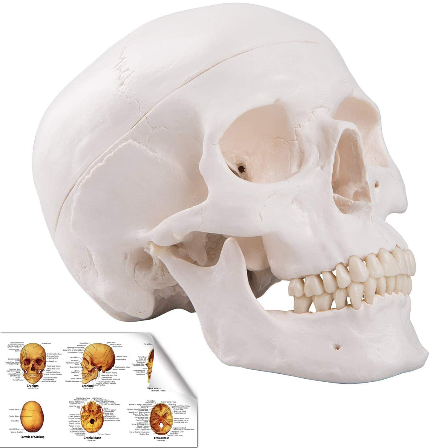 Life Size Replica Medical Anatomy Anatomical Adult Model with Removable Skull Cap and Articulated Mandible,Full Set of Teeth