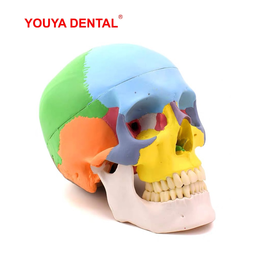 Human Adult Skull Anatomical Model With Full Dental Teeth Model Medical Anatomy Removable Skull Cap  For Tooth Teaching Studying iso deluxe adult skull with colored bones skull model