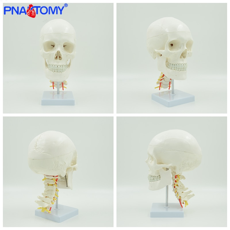 Human anatomical skull model life size skeleton head medical props anatomy tool teaching supplies artery and cervical vertebrae human shoulder model life size medical teaching tool skeleton anatomy