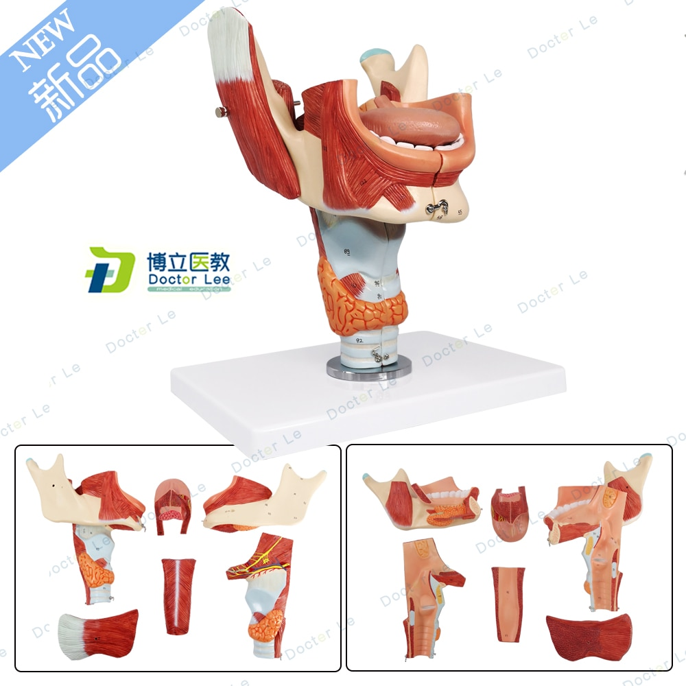 Modelo de Anatomía Humana, 6 piezas, lengua con mandíbula inferior y Larynx,...