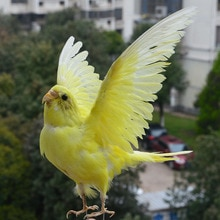 Taxidermy stuffing Eurasian yellow colour Melopsittacus undulatus / Budgerigar Budgie Parrot specimen Teaching / Decoration &