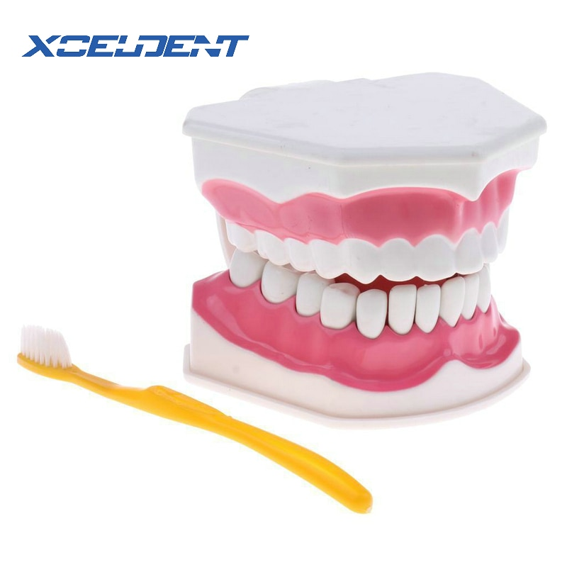 Modelo de brochas de 1 Juego, modelos de enseñanza Dental para adultos, modelo oral estándar, educación temprana para niños, modelos dentales