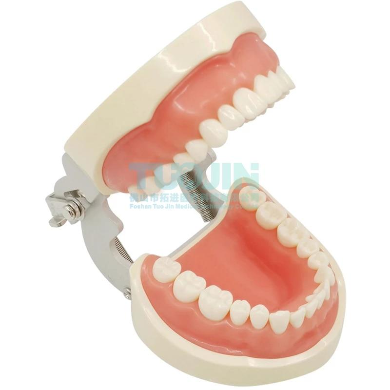 Dental Lab Teeth Model Dental 32 RemovableTeeth Model Dental Teeth Typodont Model   For Dental Oral Teaching Resin Reeth