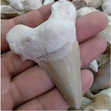 Dents de requin fossile 1 pièces   Magnifique dent de Megalodon, dents de requin fossile